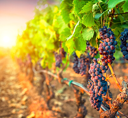 Texas Hill Country vineyards and wineries photo of a grape vine